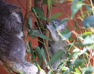koala_at_the_lone_pine_koala_sanctuary_brisbane_april_20_1014-_14238176678