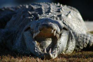 crocodile-1236343_960_720