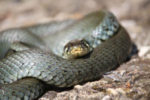 snake-1468686_960_720